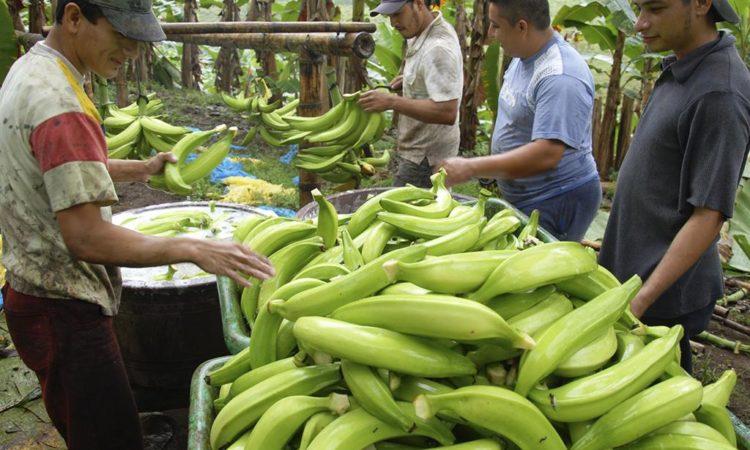 Curso Agroindustria del Plátano SENA